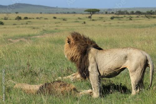 Montage in der Fensternische Huhn Mature lions in Kenya