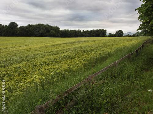 Foto op Plexiglas Weide, Moeras Barley field by a forest.