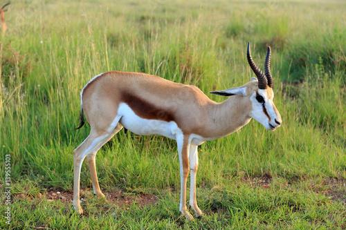 Antylopa skocznik antylopi springbok Antidorcas marsupialis