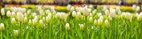 Fototapeta Tulipany - White tulips background.