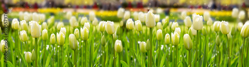 Papiers peints Tulip White tulips background.
