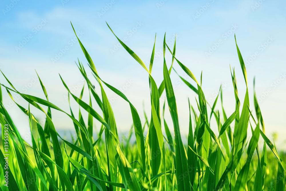 Fototapety, obrazy: Yeşil buğday yaprakları