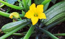Zucchini Plant.  Zucchini Flower.