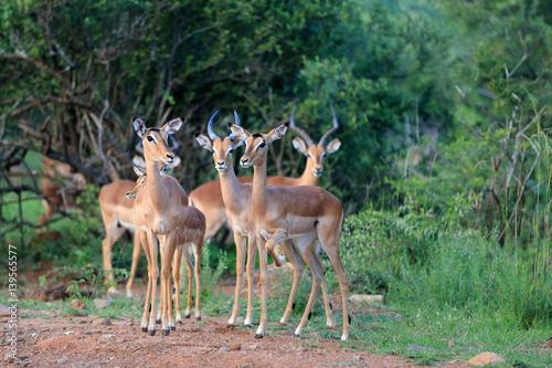 antylopy impala (Aepyceros melampus) w parku narodowym Pilanesberg