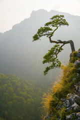 Fototapeta Popularne Famous curved pine tree on the top of Sokolica peak in Pieniny, Poland