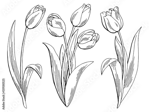 Photo  Tulip flower graphic black white isolated sketch illustration vector