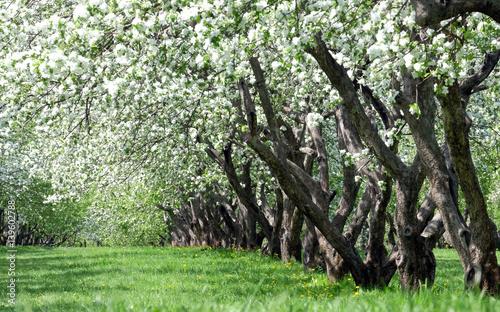 Obrazy kwiat jabłoni   kwitnace-jablonie
