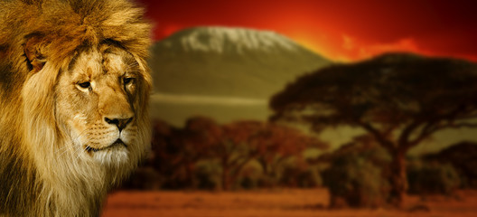 Fototapeta Lew Lion portrait on Mount Kilimanjaro at sunset