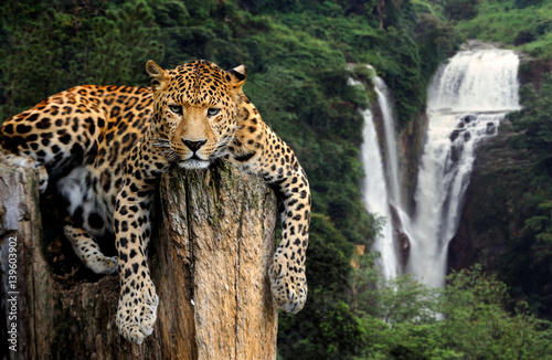 Poster Leopard Leopard on waterfall background