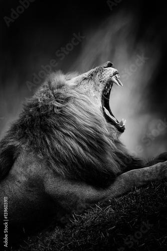 Foto op Plexiglas Leeuw Black and white image of a lion