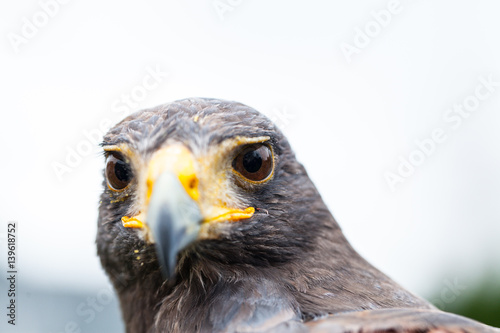 Fotografie, Tablou  Close up photo of a Harris's hawk (parabuteo unicinctus)