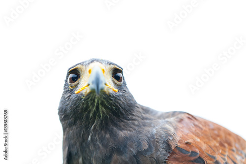 Valokuva  Close up photo of a Harris's hawk (parabuteo unicinctus)