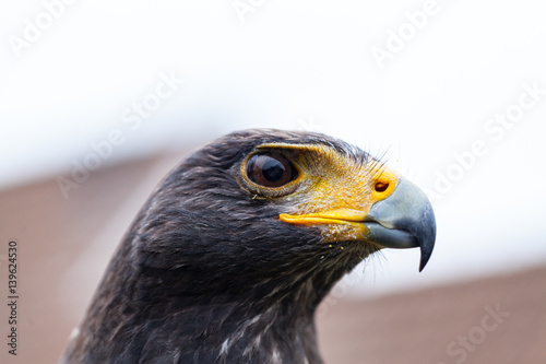 Fotografie, Tablou  Close up photo of a Harris's hawk (parabuteo unicinctus)