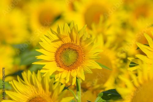 In de dag Zonnebloem summer sunflower field scene