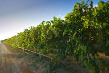 Sultana Grape Drying Racks. Location: Filmed Mildura Region
