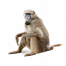 African Olive Baboon - Isolated On White