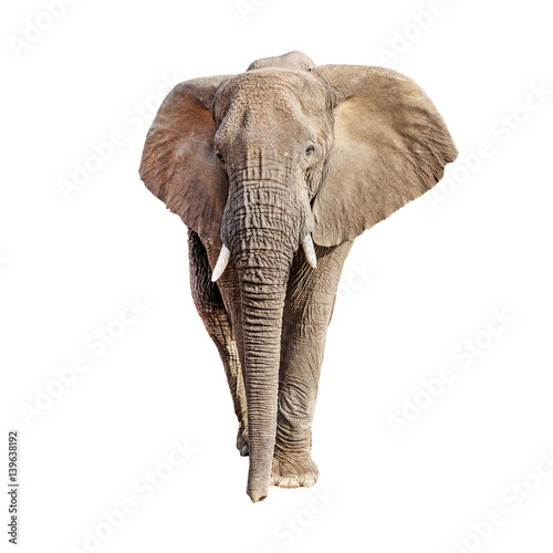 Fotobehang Olifant African Elephant Front View Isolated