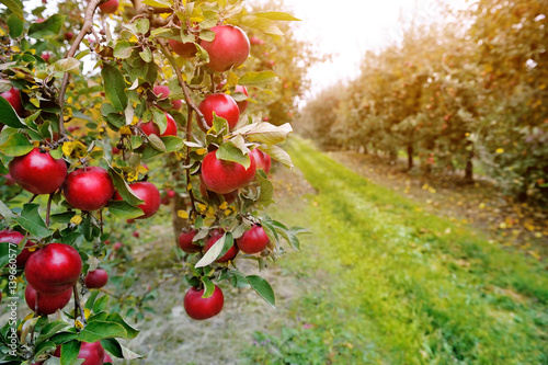 Organic apples hanging from a tree branch in an apple orchard Fotobehang