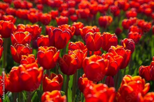 Rouge field with red tulips in the netherlands