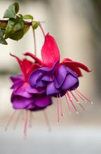 Fuchsia Flowers Isolated