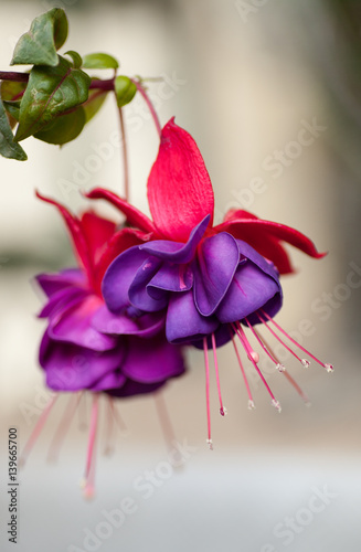 Fototapeta Fuchsia flowers isolated