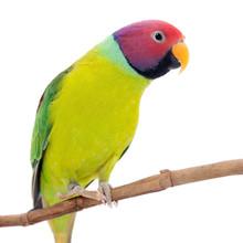 Male Of Plum-headed Parakeet O...