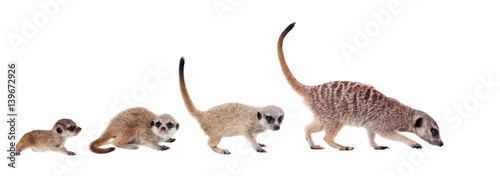 Photo  The meerkats on white