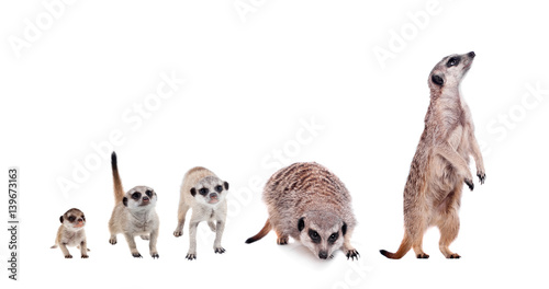 Fotografía The meerkats on white