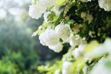 Beautiful Large White Hydrangea Paniculata Blossoms