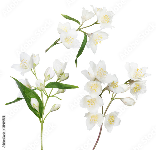 фотография isolated three jasmine branches with blooms and buds