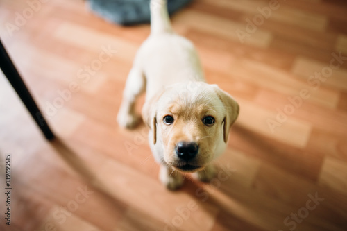 Beautiful Dog Puppy Labrador Retriever Playing In The House Apartment