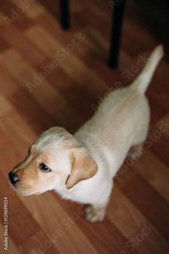 Beautiful Dog Puppy Labrador Retriever Playing In The House Apartment Against Background Of Linoleum