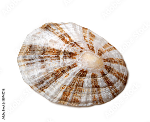 Shell of true limpet