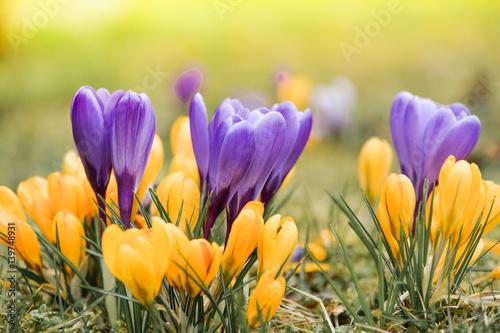 Türaufkleber Krokusse Wiese mit zarten gelben und lila Krokussen, Ostergruß