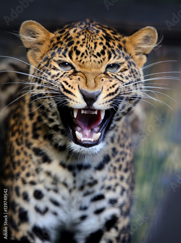 Photo Stands Leopard Leopard in nature