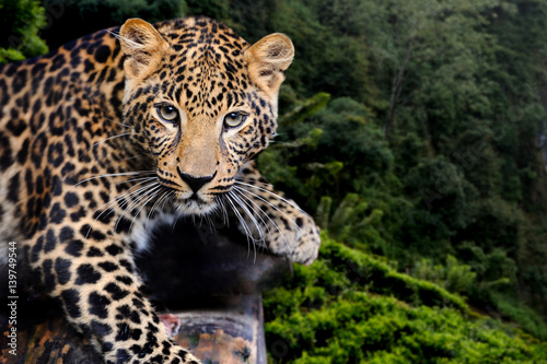 Photo Stands Panther Leopard in nature