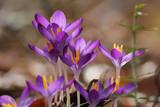 Fototapeta Kwiaty - Krokus