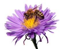 Honey Bee On Violet Flower Isolated On White Background