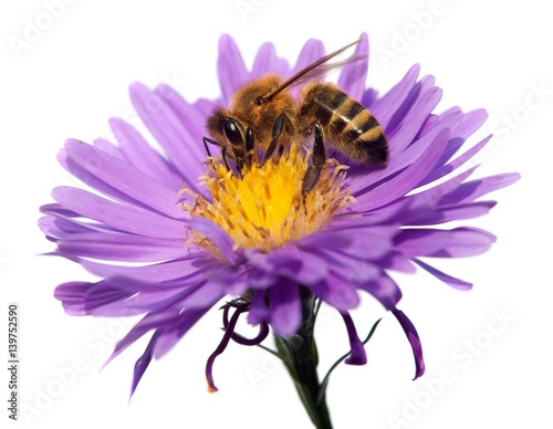 Recess Fitting Bee honey bee on violet flower isolated on white background