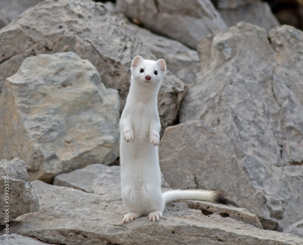 Fotografie, Obraz Short-tailed Weasel