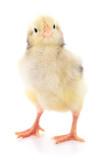 Fototapeta Zwierzęta - Small yellow chicken.