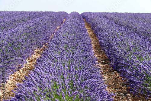 Tuinposter Lavendel Frankreich - Provence