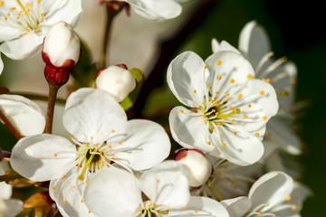 FototapetaWhite sweet cherry blooming close-up, natural background