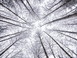 Fototapeta  - Looking Up at Snowy Sky Through Tree Tops in Winter Season with Fisheye Lens