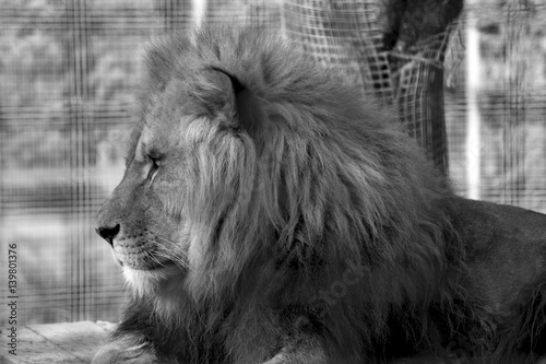 Lion at the zoo 2