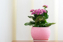 Blossoming Pink Kalanchoe In Pot