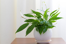 Spathiphyllum In White Pot In Interior