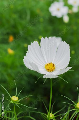 Beautiful white cosmos flower in gardenclose up white cosmos buy beautiful white cosmos flower in gardenclose up white cosmos mightylinksfo