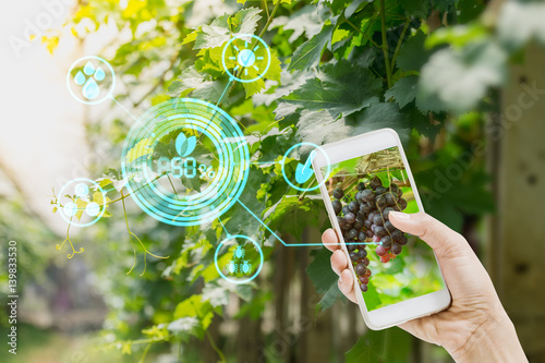 Fotografia  hand holding mobile phone inspecting grapes in agriculture garden with concept Modern technologies
