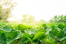 Taro Field With Sunlight